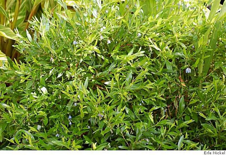 Sollya heterophylla Photo: Erle Nickel