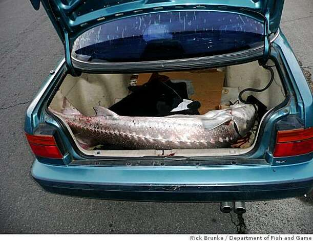 A sturgeon from the Sacramento-San Joaquin delta is found in the trunk of a fisherman. It is illegal in California to keep sturgeons after catching them. Photo: Rick Brunke, Department Of Fish And Game