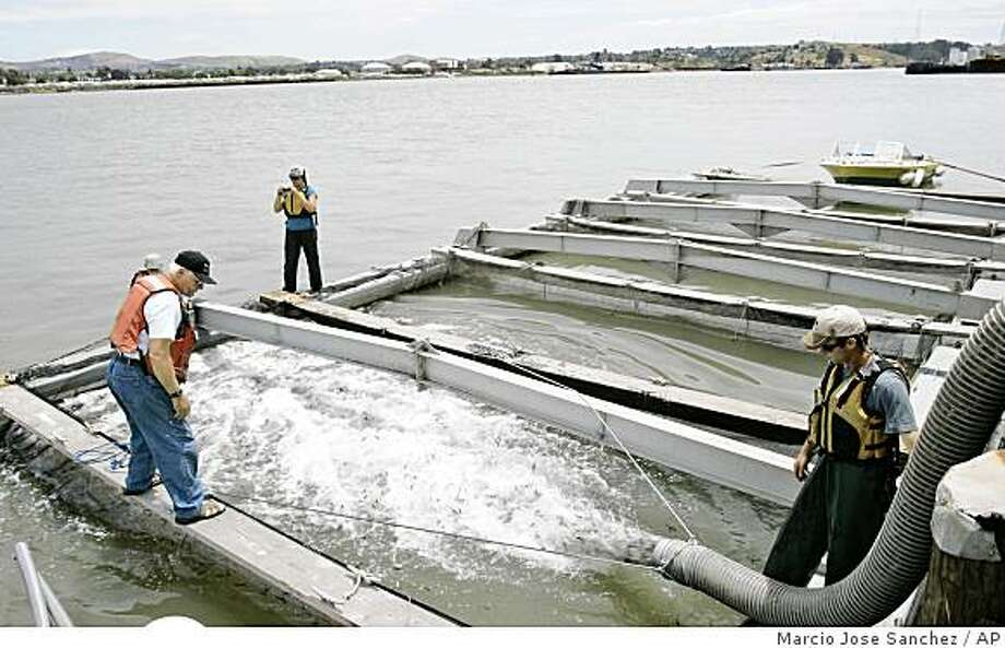 Biologists Trevor Kennedy, bottom right, and Roxanne Kessler, top center, release smolts, younger versions of chinook salmon, onto holding pens with the help of boat captain Doug Wagoner, bottom left, in Vallejo, Calif., Thursday, June 4, 2009.  Biologists from the Fishery Foundation of California were releasing 550,000 smolts into the San Francisco Bay Thursday in hopes of restoring commercial and recreational fishing.  Federal fisheries regulators released a wide-ranging plan Thursday to help the struggling chinook salmon, saying state and federal water projects have contributed to the decline of the fish and other endangered species in the Central Valley. The National Marine Fisheries Service recommends a new water temperature management plan for the upper Sacramento River and Shasta Reservoir and opening dams to allow for better salmon migration, among other things, in the new report. (AP Photo/Marcio Jose Sanchez) Photo: Marcio Jose Sanchez, AP