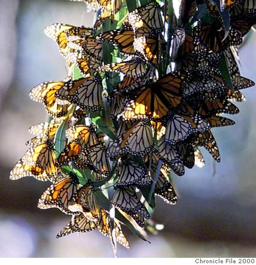 MONARCHS 4-C-17FEB00-PZ-KL ---As the day becomes cooler the Monarch butterflies cluster on the branches on the trees in the Monarch Grove Sanctuary in Pacific Grove. The butterfly season is coming to an end as the they mate and move on to the milkweed fields.  (KENDRA LUCK/SAN FRANCISCO CHRONICLE)  Ran on: 02-03-2008  Monarch butterflies cluster in the trees at the Monarch Grove Sanctuary in Pacific Grove. Photo: KENDRA LUCK