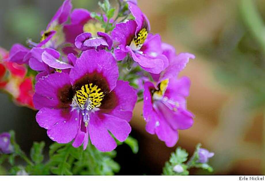 Schizanthus, better known in the trade by its common names: Butterfly Flower or Poor Man?s Orchid. Photo: Erle Nickel