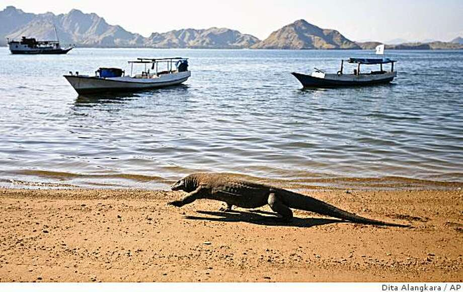 **ADVANCE FOR MONDAY, MAY 25** In this photo taken on April 30, 2009, a Komodo dragon walks on a beach on Komodo island, Indonesia. Attacks on humans by Komodo dragons _ said to number at around 2,500 in the wild _ are rare, but seem to have increased in recent years. Komodo dragons have a fearsome reputation worldwide because their shark-like teeth and poisonous saliva can kill a person within days of a bite. (AP Photo/Dita Alangkara) Photo: Dita Alangkara, AP
