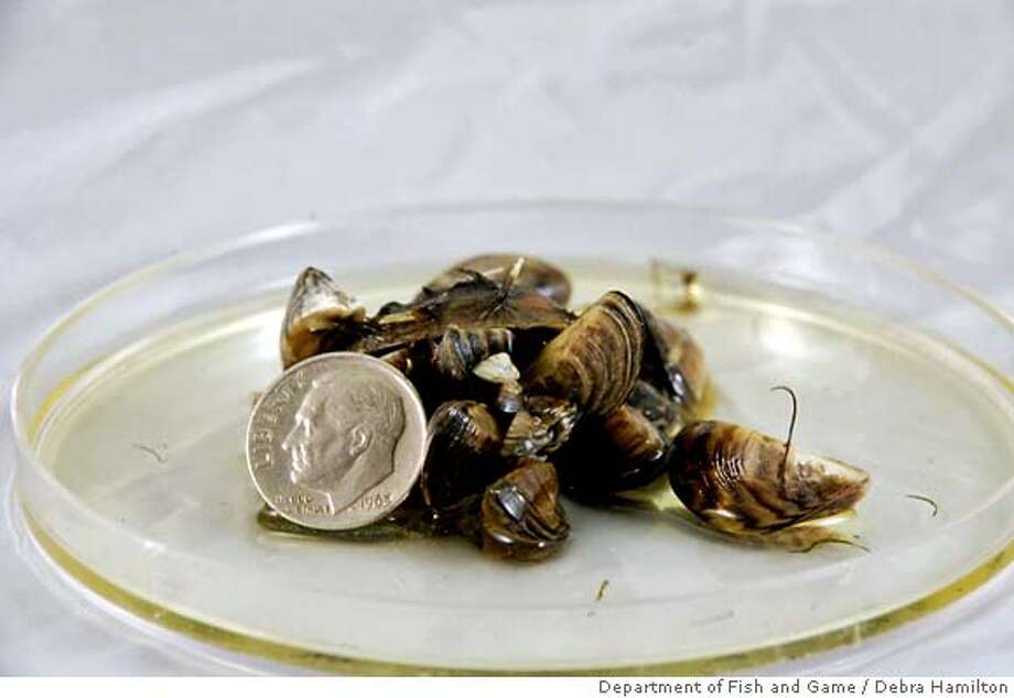 This undated photo provided by the California Department of Fish and Game shows Zebra mussels next to a dime. State wildlife officials say the destructive species has been discovered in California for the first time, confirmed by lab tests conducted Monday, Jan. 14, 2008. Zebra mussels are known to clog water pipes and boat engines and alter the chemistry of marine ecosystems. (AP Photo/Department of Fish and Game, Debra Hamilton) Photo: Debra Hamilton
