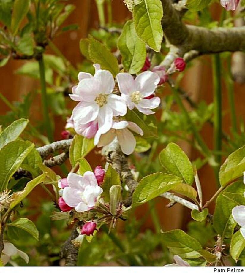Apple blossom Photo: Pam Peirce