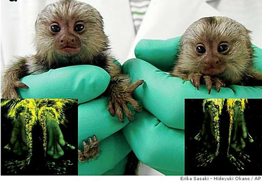 This composite photo, provided by Nature magazine, shows newborn  transgenic marmoset Kei, left, and Kou.  Insets show their feet under ultraviolet light.  Under UV light the skin on the soles of the feet glow green.   Scientists have shown that a gene they slipped into a monkey was transmitted to the offspring, a step experts called a milestone for creating animals with versions of human diseases for study.  The transgenic marmoset are part of the Targeted Basic Research Program of the Japan Science and Technology Agency (JST) and of the Strategic Research Program for Brain Sciences of the Japanese Ministry of Education, Culture, Sports, Science and Technology, a group headed by Erika Sasaki, Laboratory Head of the Central Institute of Experimental Animals, and Professor Hideyuki Okano of the Keio University School of Medicine . (AP Photo/Erika Sasaki - Hideyuki Okano,Keio University School of Medicine via Nature) Photo: Erika Sasaki - Hideyuki Okano, AP