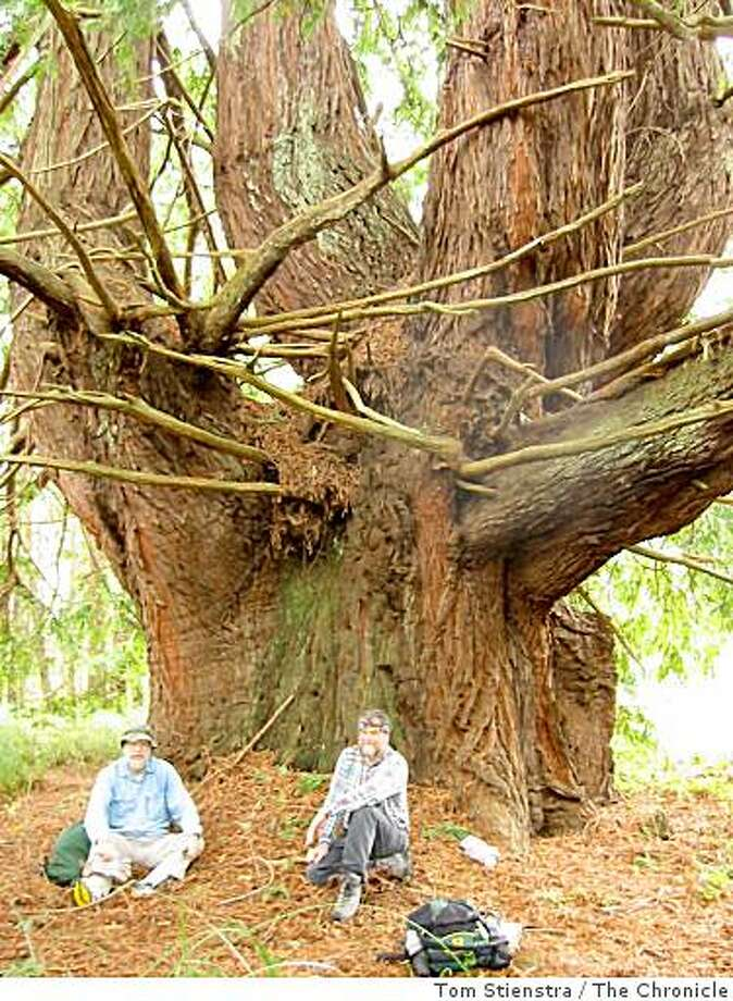 Candelabra Tree at Butano RedwoodsState Park Photo Tom Stienstra Photo: Tom Stienstra, The Chronicle