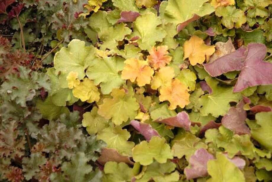 Various heuchera varieties with purple, peach, and yellow leaves. Photo by Pam Peirce. Photo: Pam Peirce