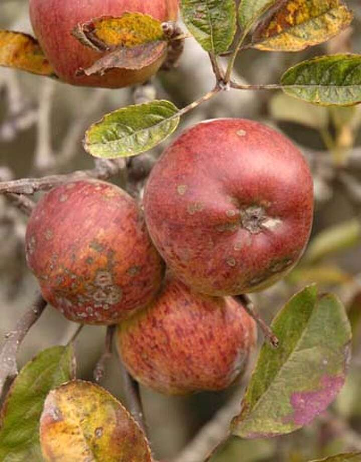 Apple Scab symptoms on fruit and leaves. Photo by Pam Peirce Photo: Pam Peirce