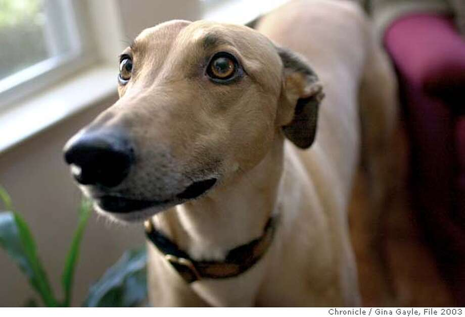 DOGSLIFE29c-C-21MAR03-HM-GG - Headshot of Elvis, a gorgeous greyhound. Photo by Gina Gayle/The SF Chronicle.  Ran on: 09-29-2007  Elvis, a speedy greyhound, needs a fenced yard to keep him from chasing anything that moves. Photo: GINA GAYLE