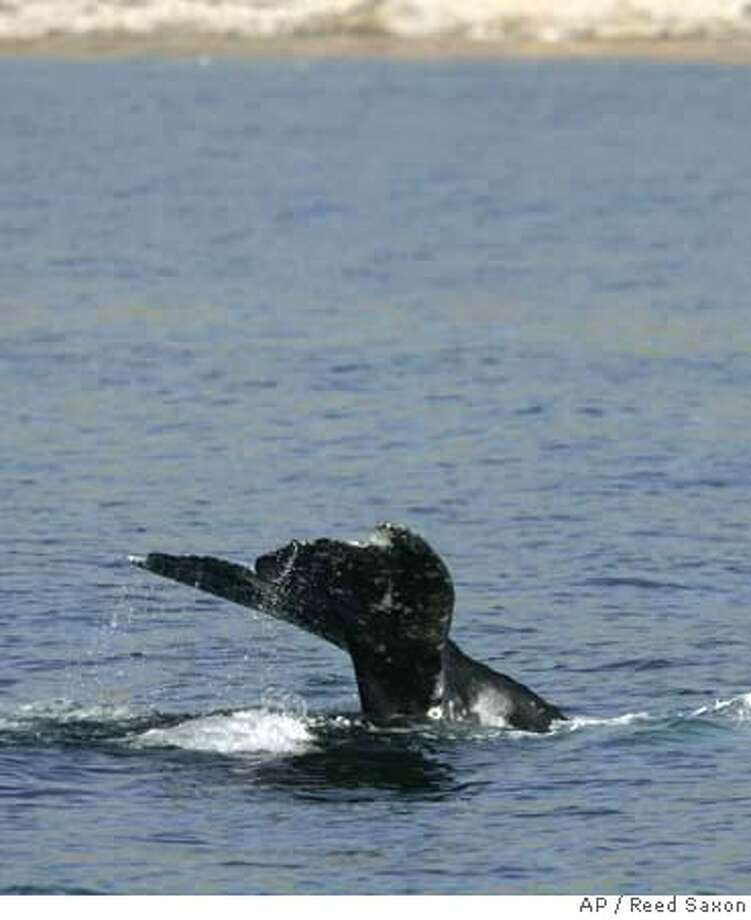 The flukes of a gray whale as it dives off the Southern California coast near the Palos Verdes Peninsula is seen Wednesday, Jan. 16, 2008. Conservationists on Wednesday blasted President Bush's decision to exempt the Navy from an environmental law so it can continue using high-power sonar in its training off Southern California, a practice they say harms whales and other marine mammals. (AP Photo/Reed Saxon) Photo: Reed Saxon
