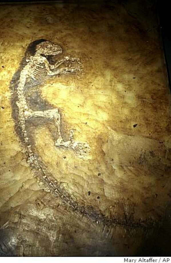 The 47 million-year-old fossilized remains of a creature are shown at a news conference at the American Museum of Natural History, Tuesday, May 19, 2009 in New York. Scientists unveiled the skeleton of the 47 million-year-old creature from Germany that may help illuminate the early evolution of monkeys, apes and humans.  (AP Photo/Mary Altaffer) Photo: Mary Altaffer, AP