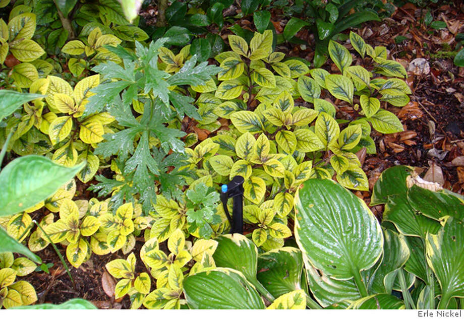 plant known as Swedish Ivy, Indian Coleus, Zulu potato Photo: Erle Nickel