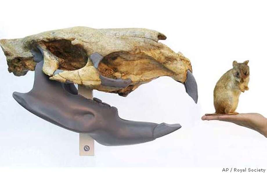 In this image released in London Wednesday Jan. 16, 2008, by the Royal Society, an artist's illustration shows the skull of a Josephoartigasia monesi, a newly discovered extinct species of rodent, compared to a smaller rodent. Uruguayan scientists say they have unearthed fossil evidence of a giant new species of rodent, by far the largest ever discovered. The exceptionally well-preserved skull is about 4 million years old, and the scientists say it shows that South America was once home to a frightening variety of mouse which could grow bigger than modern-day bulls. (AP Photo/Royal Society) PHOTO PROVIDED BY THE ROYAL SOCIETY EDITORIAL USE ONLY. AP PROVIDES ACCESS TO THIS PUBLICLY DISTRIBUTED HANDOUT PHOTO. THE COPYRIGHT IS OWNED BY A THIRD PARTY. Photo: ROYAL SOCIETY