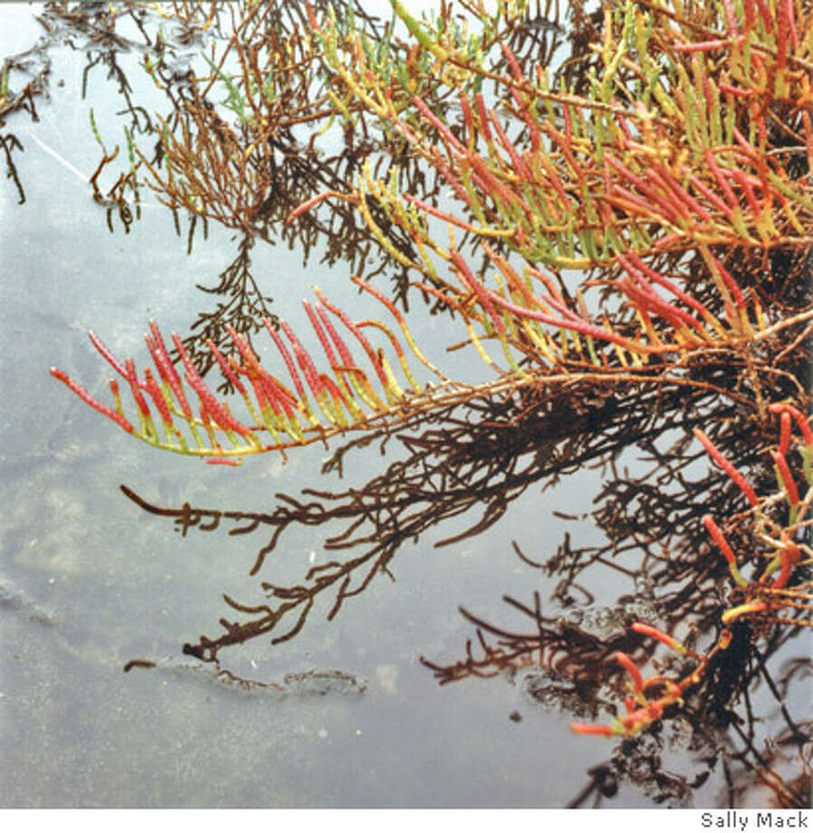 Photo of pickleweed turning pink in fall, Photo: Sally Mack