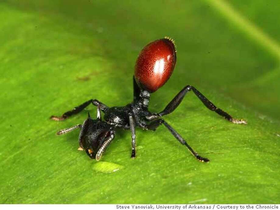 Undated handout image shows an ant infected with a worm parasite. The parasitic worm turns their bellies bright red to look like ripe berries so birds think the ants are berries. The birds then eat the ants and the parasites spread through bird excrement. Steve Yanoviak / University of Arkansas / Photo: Steve Yanoviak / University Of A