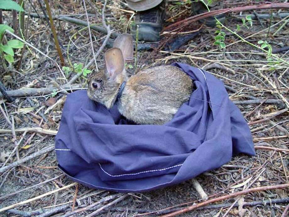 riparian brush rabbit. There is an antenna attached to the rabbit's collar for radio tracking Photo: Stacy Small