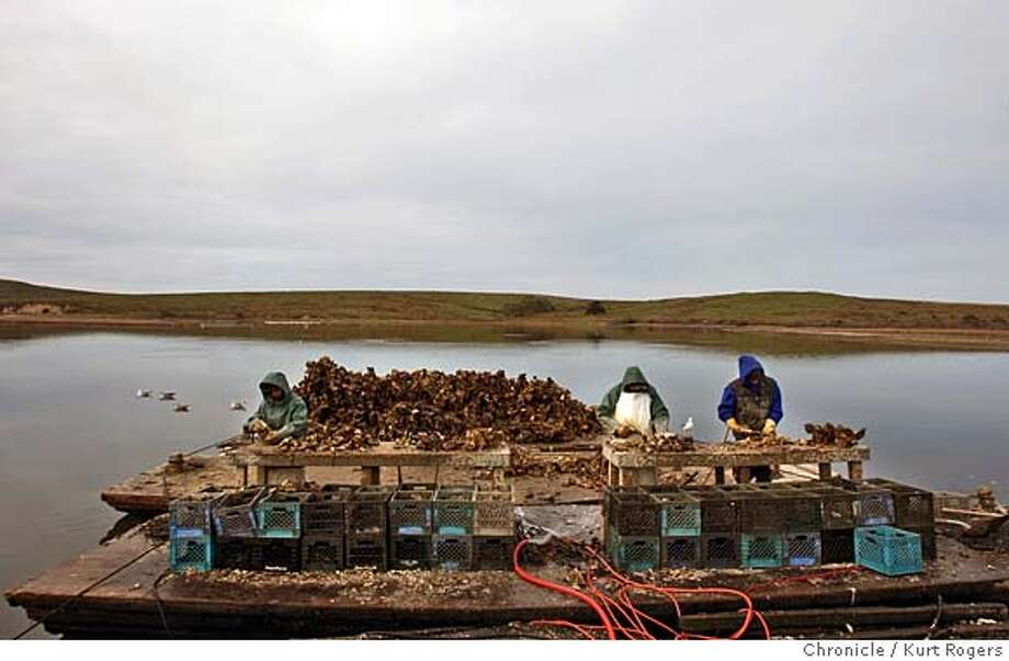 Workers at the Drakes Bay Oyster farm work on processing the oysters.  The Drakes Bay Oyster farm .  The farm's supporters are accusing National park service officials of misrepesenting science in their effort to drive the company off the marin county estuary.  OYSTERS28_0022_KR.jpg  Kurt Rogers / The Chronicle Photo taken on 12/27/07, in Drakes Bay, CA, USA MANDATORY CREDIT FOR PHOTOG AND SAN FRANCISCO CHRONICLE/NO SALES-MAGS OUT Photo: Kurt Rogers