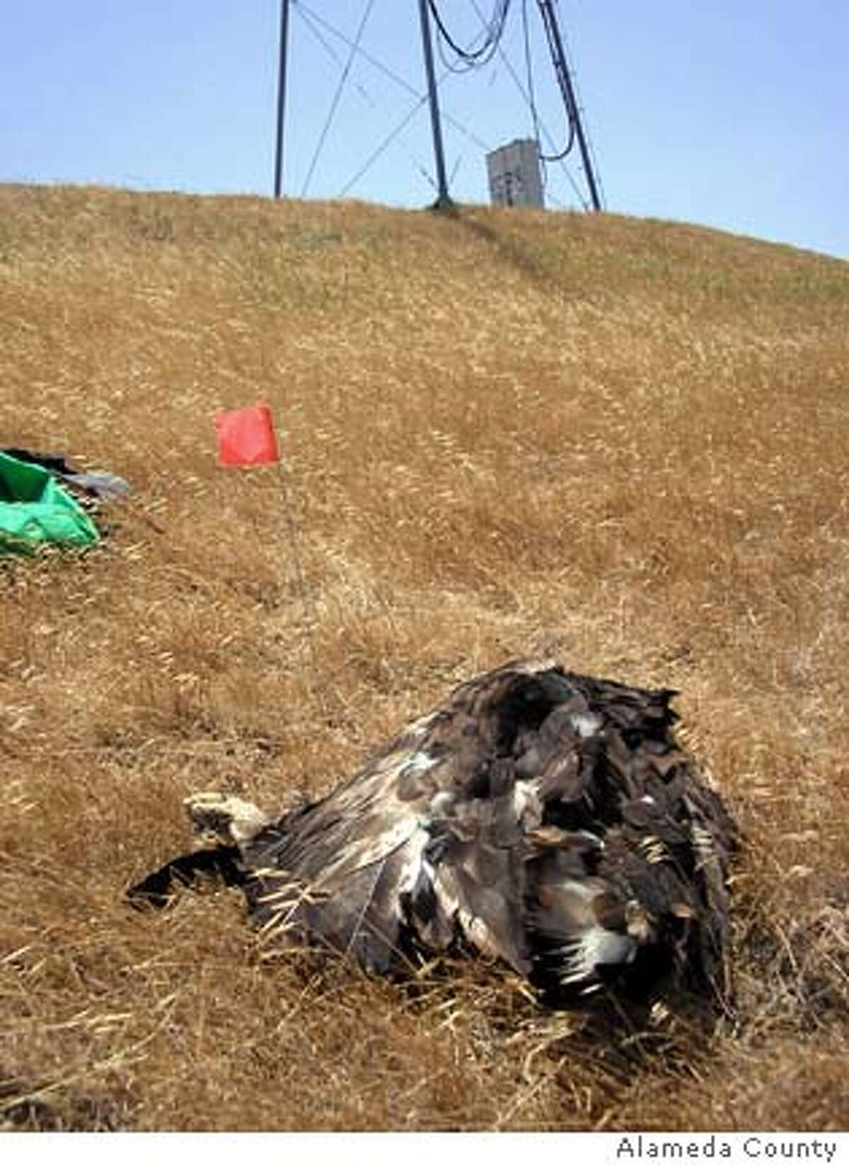 Undated handout image of a Golden Eagle dead near one of the wind turbines at the Altamont Pass Wind Resource Area. Alameda County / Courtesy to The Chronicle Ran on: 01-02-2008 Wind turbines rise above the fog on the hills of the Altamont Pass. Wildlife groups are seeking to relocate or remove some of the power generators. Ran on: 01-02-2008 Wind turbines rise above the fog on the hills of the Altamont Pass. Wildlife groups are seeking to relocate or remove some of the power generators.