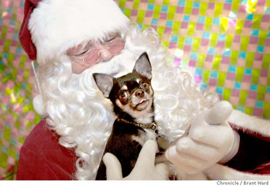 petcards_140.JPG  Santa, aka Thomas Benedetti, holds a Chihuahua named Drina for her holiday photo at Jeffrey's Natural Pet Food store.  Pet photos are a big part of the holiday business for the retail chain stores, but smaller stores like Jeffrey's Natural Pet Food in San Francisco on Powell Street are also bringing in the customers with their free photos of your pet with Santa.  {By Brant Ward/San Francisco Chronicle}12/16/07 Photo: Brant Ward