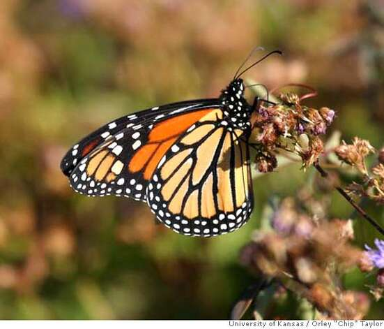 Adult Monarch butterfly. Credit: Orley
