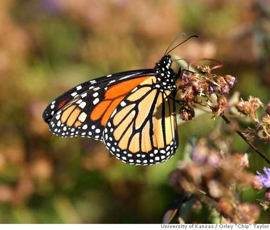 "Adult Monarch butterfly. Credit: Orley ""Chip"" Taylor/University of Kansas Photo: Orley ""Chip"" Taylor/University O"