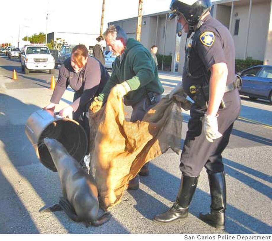 Photos of sea lion that police rescued in San Carlos today. Provided by San Carlos Police Department.