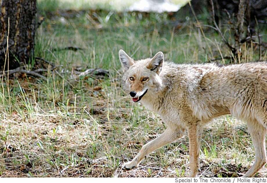 Scientists say our pet dogs are really wolves. There's also evidence that coyotes may be closer than cousins to the wolf. Photo: Mollie Rights, Special To The Chronicle