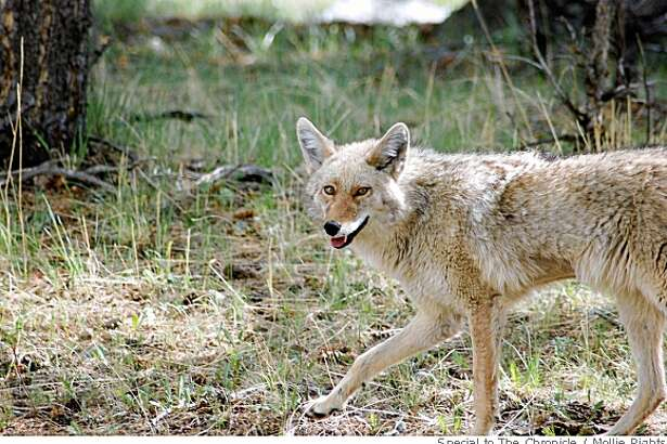 Scientists say our pet dogs are really wolves. There's also evidence that coyotes may be closer than cousins to the wolf.