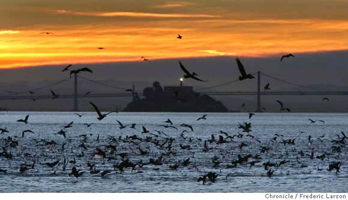 Just before sunrise a huge flock of mostly pelicans as seen from the shores of Sausalito looking towards Alcatraza and the Bay Bridge feasted over the bay giving hope that recovery from the latest oil spill might be turning the corner. Frederic Larson / The Chronicle Photo taken on 11/28/07, in Sausalito, CA, USA MANDATORY CREDIT FOR PHOTOG AND SAN FRANCISCO CHRONICLE/NO SALES-MAGS OUT