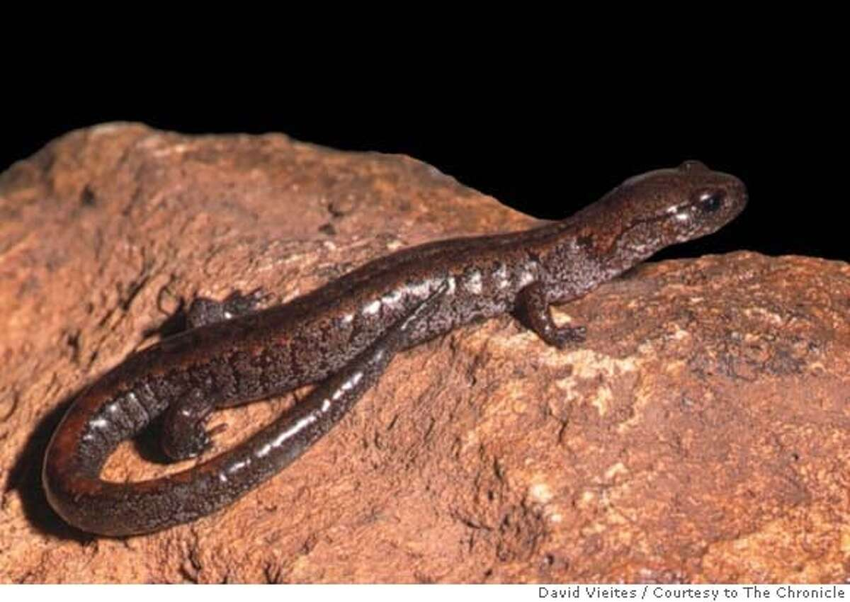 SALAMANDERS27_ph2.JPG This lungless salamander, Karsenia koreana, the only known species of its kind, was discovered two years ago in Korea and lives in forested rock crevices. David Vieites / MANDATORY CREDIT FOR PHOTOG AND SAN FRANCISCO CHRONICLE/NO SALES-MAGS OUT