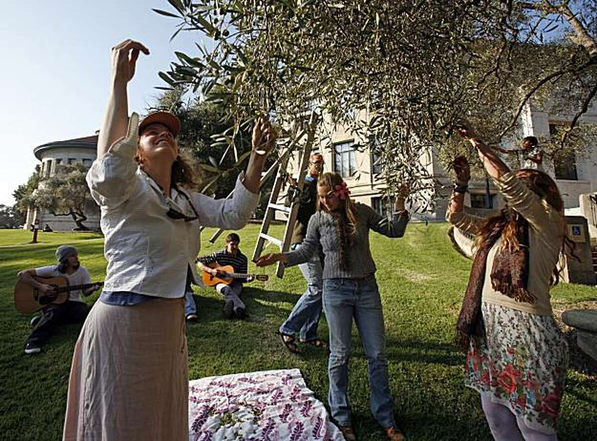 (Left to right) Severine Fleming, Misha Bailey, and Jackie Clark (foreground) pick olives as U.C. Berkeley students hold the second annual Harvest Fair Tuesday. Participants harvest olives from campus trees, make seed balls, sell pumpkin pies and network about health, sustainable eating.