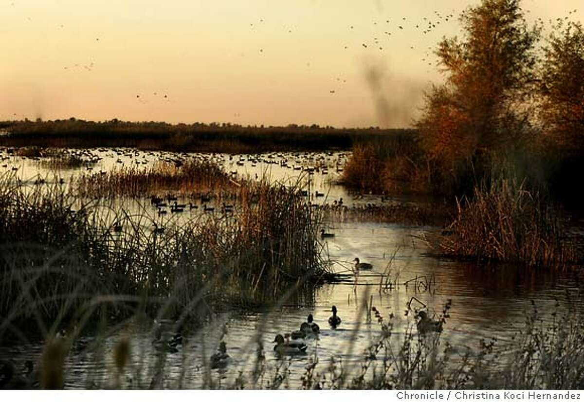 Pacific Flyway.(Christina Koci Hernandez/The Chronicle) At the Sacramento National Wildlife Refuge Complex, in Willows, CA, migratory waterfowl that were once part of declining populations are thriving. Twenty years ago, continental waterfowl populations were at all-time lows due to habitat destruction and a series of drought years. Today, they're at near all-time highs for the past 70 years.The Sacramento Refuges and easements serve as resting and feeding areas for nearly half the migratory birds on the Pacific Flyway. (photos by Christina Koci Hernandez)