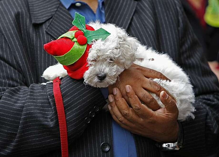 """Snowflake"" at the opening festivities, a 2 month old Bichon Frise, who is deaf and partially blind is up for adoption hoping to find a new home. Photo: Michael Macor, SFC"