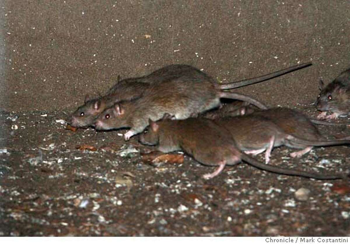 FILE-- Rats roam on the Mission Street side of the Mint at 5th and Mission in this Nov. 18, 2007 file photo. The number of rat complaints made to 311 has risen steadily in the last five years.