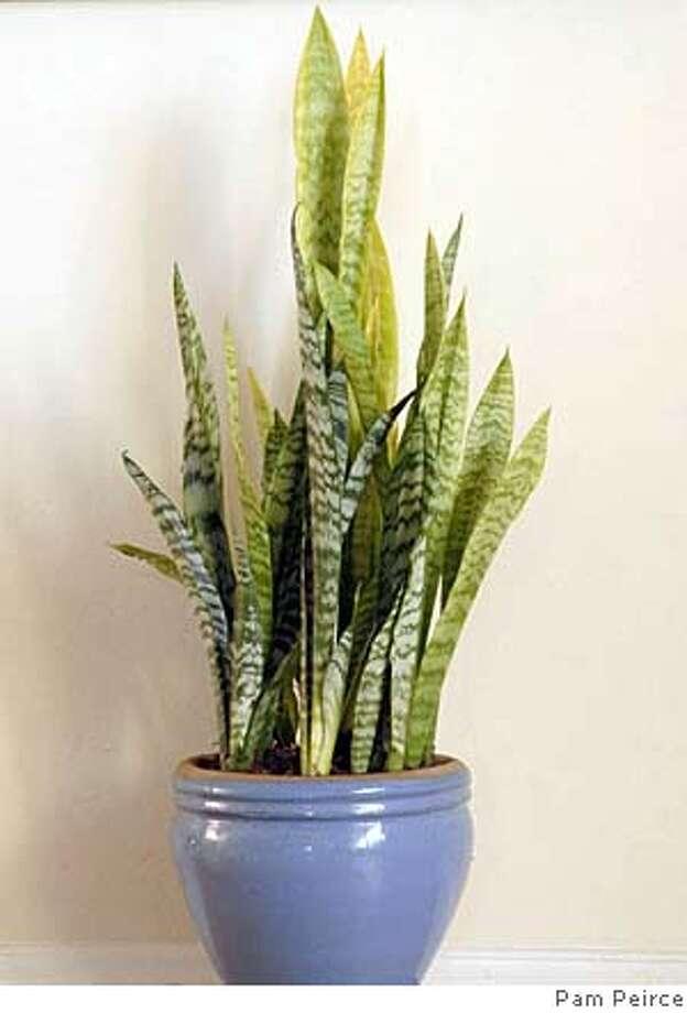 Sansevieria plant Photo: Pam Peirce