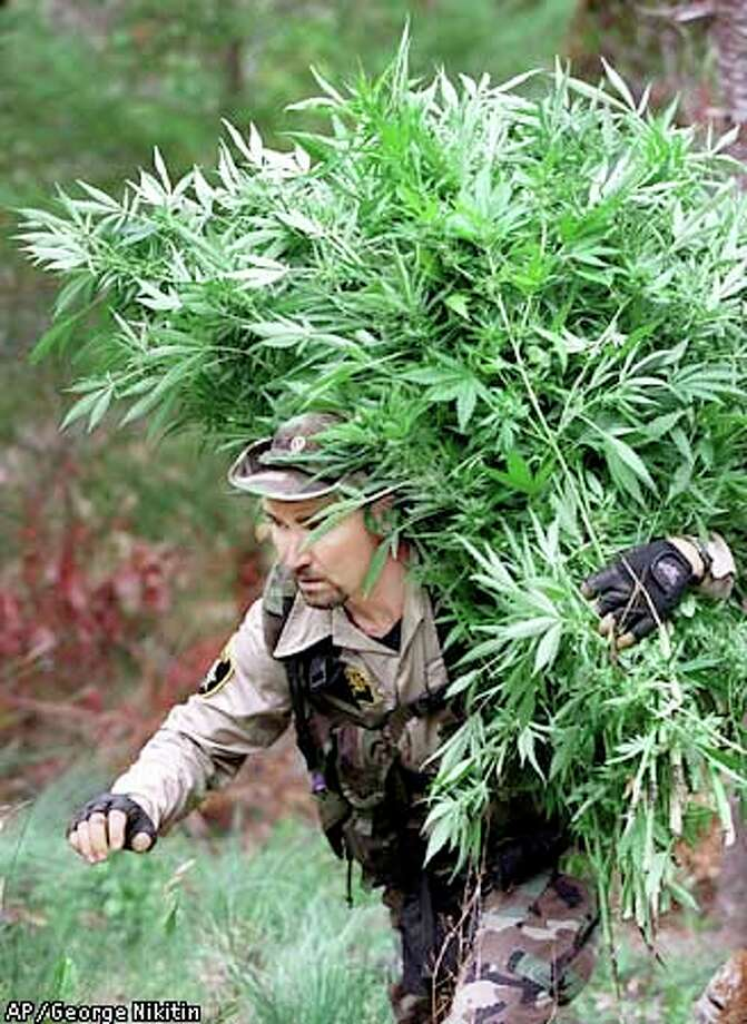 Law enforcement officer John Bailey toted marijuana plants seized in a 1998 raid in Ukiah. A measure on the Nov. 7 ballot in Mendocino County would make small growing operations legal. Associated Press photo by George Nikitin