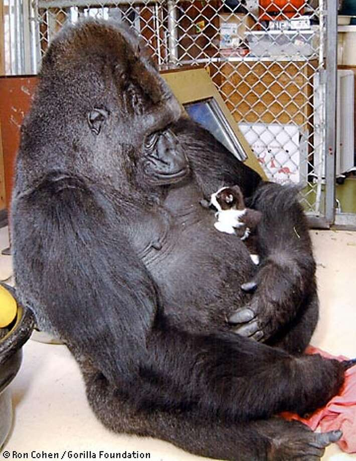 Koko the signing gorilla, who has been down in the dumps since her pal Michael the gorilla died last April, was introduced to a new friend yesterday, Moe the kitten. Photo Courtesy of Ron Cohen, Gorilla Foundation.