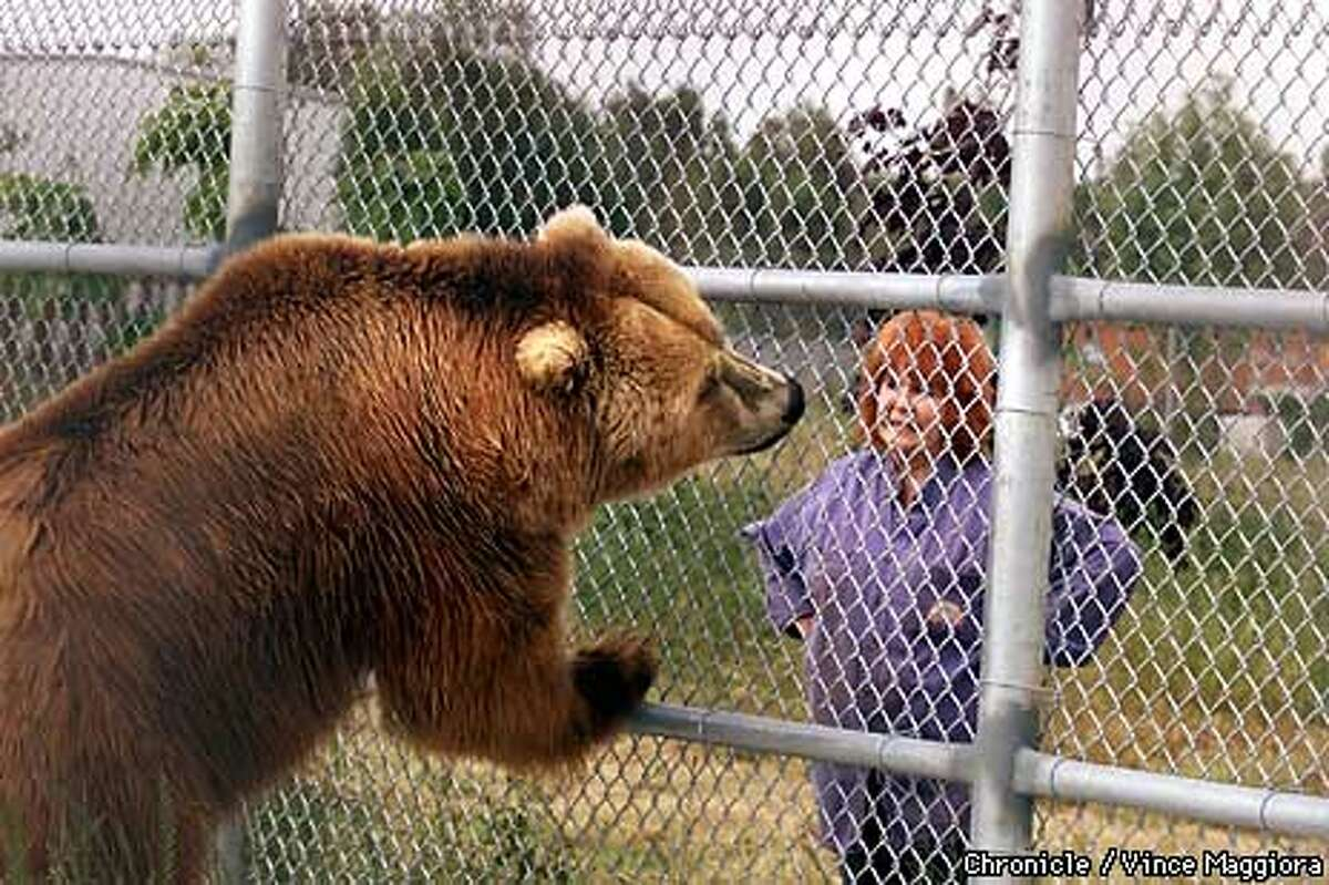 Manfried, a Kodiak bear, was found living in a small horse trailer. Chronicle Photo by Vince Maggiora