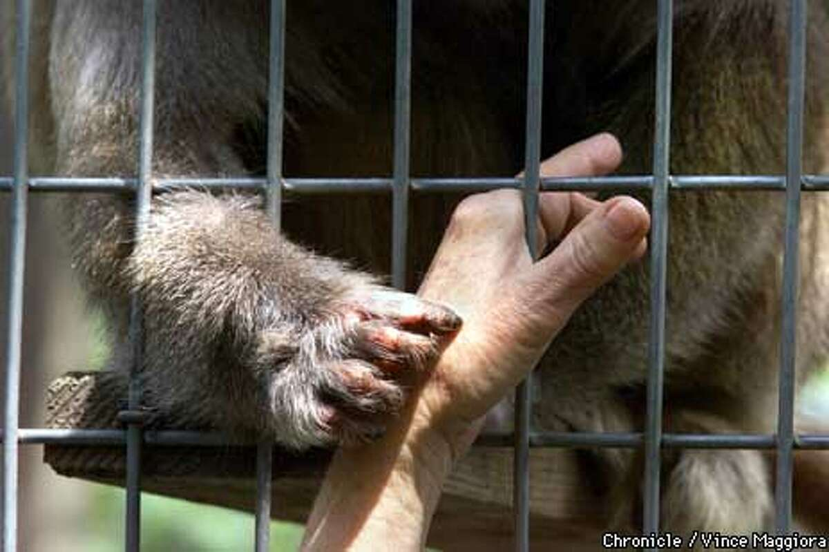 Harriet, a hamadryas baboon, groomed Pat Derby's hand. Chronicle Photo by Vince Maggiora