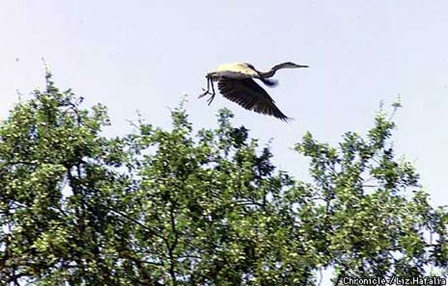 A heron flew above Stanford's Jasper Ridge preserve. Chronicle photo by Liz Hafalia / SAN FRANCISCO CHRONICLE