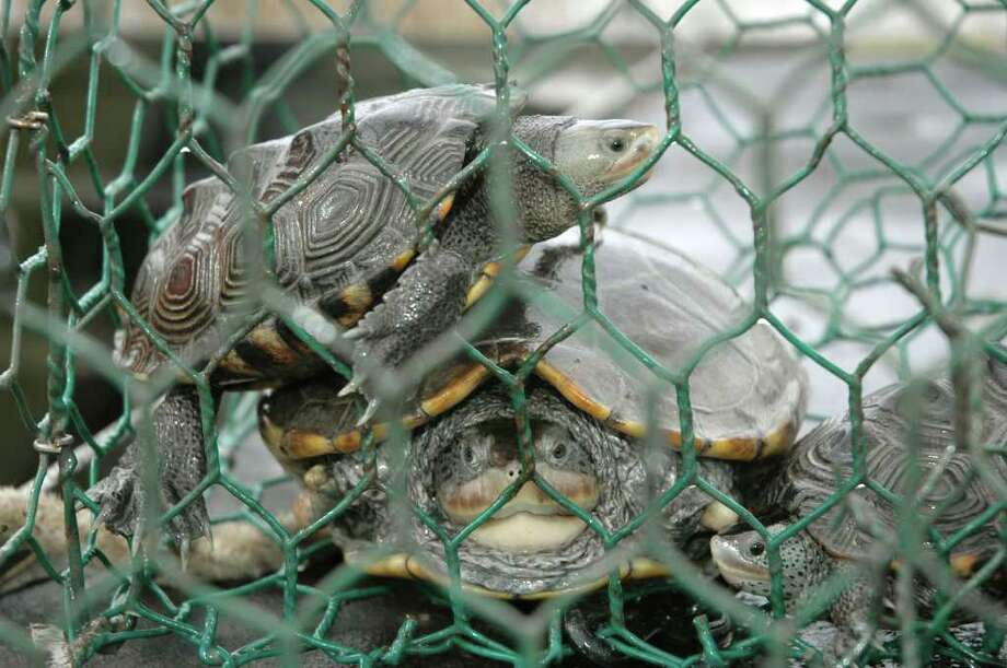 Diamondback terrapins are one of at least 41 species of fish and wildlife trapped and killed by thousands of abandoned crab traps littering Texas bays. The state's annual Abandoned Crab Trap Removal Program is Feb. 17-25, giving volunteers an opportunity to remove and destroy derelict traps from collection sites. Photo: Shannon Tompkins / Houston Chronicle