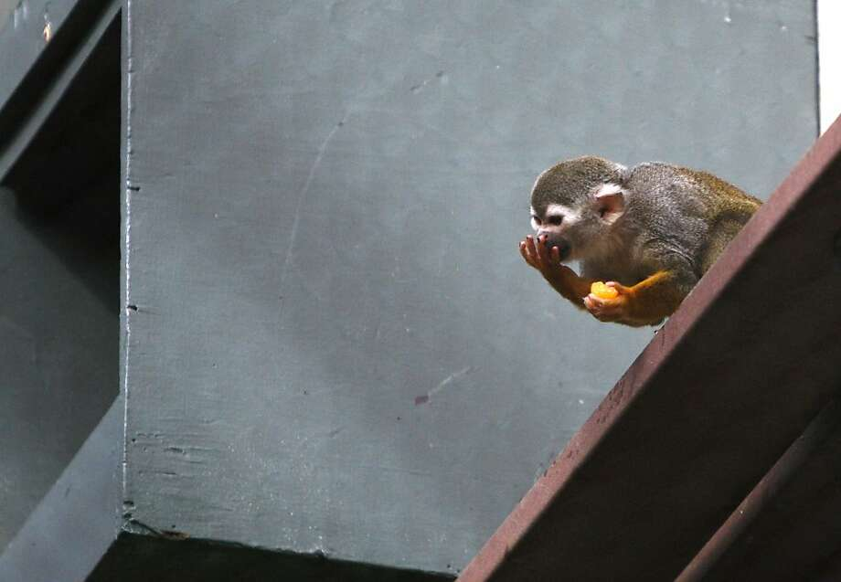 Banana Sam, the oldest of the squirrel monkeys at the San Francicso Zoo, is seen in a February 2012 photo. The 2-pound squirrel  monkey succumbed to heart disease Thursday, Nov. 22, 2013. He was 19. Photo: Siana Hristova, The Chronicle