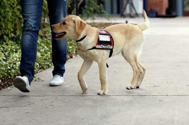 Trinity's newest student is a 4-month-old yellow lab named Jjurgens. The pup will stay on campus until October before entering explosives detection training through the Lackland-based TSA's Puppy Program. The university has previously brought puppies to campus as incentives to snap their yearbook photos and to provide stress relief during finals week. Jurgens, who already has a hundred Twitter followers and more than 300 Facebook fans and is named after Port Authority police officer Paul W. Jurgens of Long Island who was killed in 9/11. Photo: HELEN L. MONTOYA, San Antonio Express-News / ©2012 San Antonio Express-News