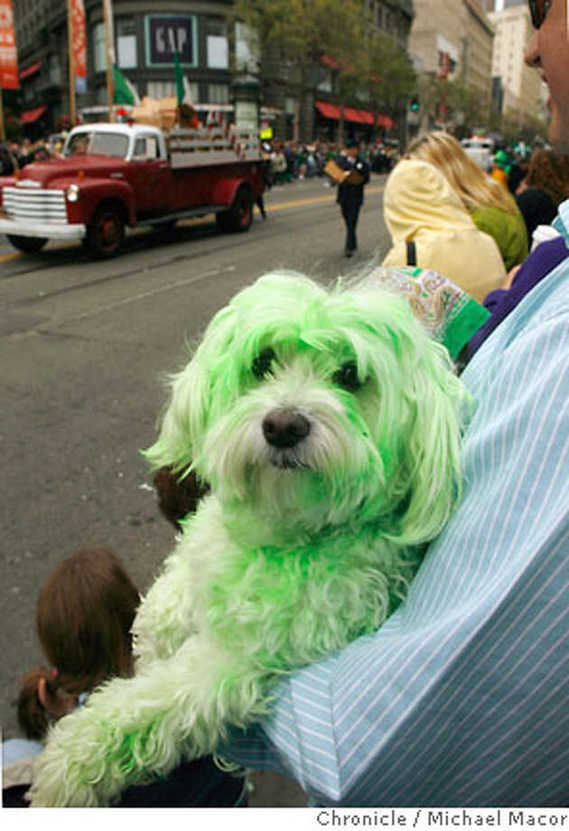 Yes, Dennis McNell dyed his dog, Coco, green for the St. Patrick's Parade. San Francisco's Annual St. Patrick's Day Paarde makes it's way through downtown, along Market St. Photographed in, San Francisco, Ca, on 3/17/07. Photo by: Michael Macor/ The Chronicle Photo: Michael Macor