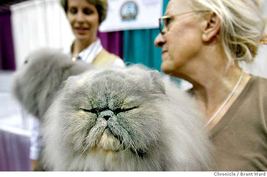 """catparty182.JPG  Arlene Storm, right holds her Blue Cream variety named Chin Chin who had just been bested by Susan Cook Henry's Blue Persian, in background.  The 19th annual Cat Fanciers"""" Association cat show was held at the San Mateo County Expo over the weekend. More than 750 cats representing 41 breeds attracted cat fanciers from all over the nation. This is the most prestigious competition in the pedigreed cat world.  {Brant Ward/San Francisco Chronicle}11/19/06 Photo: Brant Ward"""