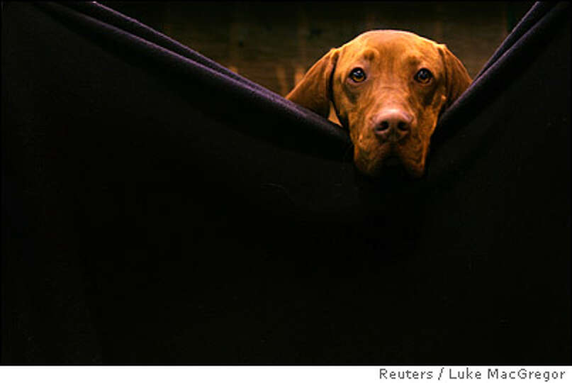 A Hungarian Vizla waits in the stalls before going into the parade ring at the 103rd Crufts dog show