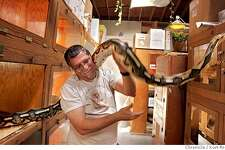 """In the movies, like the new """"Snakes on a Plane,"""" snakes are dangerous, scary, Store manager Owen Maercks holds a Tiger Reticulated Python in his store in Berkeley.East Bay Vivarium the snake wanted to go for a walk once it got out of its cage. KURT ROGERS /THE CHRONICLE BERKELEY THE CHRONICLE SFC SNAKES22_0146_kr.jpg MANDATORY CREDIT FOR PHOTOG AND SF CHRONICLE / -MAGS OUT"""
