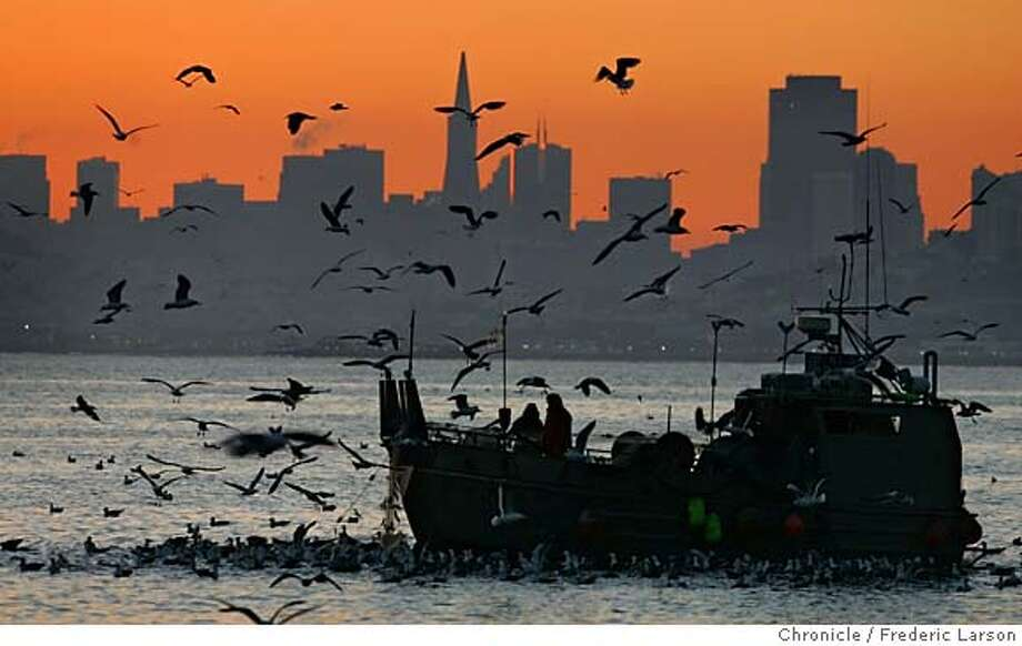 HERRING_0446_fl.jpg Herring fishing boats arrived along with thousands of birds covering the morning sky seen from Sausalito looking out at San Francisco bay. Every year, in October or November, the herring boats come down from the North on 18 wheel trucks to San Francisco Bay. They come from ports like Juneau AK and Bellingham WA, and many end up in Sausalito. For their 40 feet they are a sturdy boat, usually made of aluminum, powered by two inboard-outboard diesels, and capable of carrying several tons of fish. A gill net is played out over rollers at the bow and the boat anchors for several hours or over night, and then pulls the net back in, shaking the fish out of the net and into the hold. It's then only a few minutes back to the Fish Dock where the herring are sucked out of the boat with a giant vacuum pump. The Pacific Herring, Clupea harengus, is found from Baja off Mexico to the Bering Sea off Alaska. They come into bays and estuaries to lay their eggs. For fish caught here only the herring roe has commercial value, mostly in Japan. The harvest of herring, if it is to be sustainable year after year, needs to be a balance between allowing some fish to lay and fertilize eggs to catching adults and selling the roe. 1/9/06 San Francisco CA Frederic Larson San Francisco Chronicle Photo: Frederic Larson
