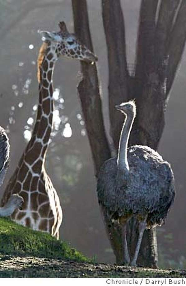 zoobirds_0007_db.jpg  An ostrich walks near a giraffe at the San Francisco Zoo. Zoos are starting to take note of avian flu worries.  Event on 1/6/06 in San Francisco.  Darryl Bush / The Chronicle MANDATORY CREDIT FOR PHOTOG AND SF CHRONICLE/ -MAGS OUT Photo: Darryl Bush