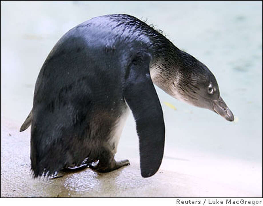 Grotty, a ten week old baby penguin, looks at water after its first swim at London Zoo Photo: LUKE MACGREGOR